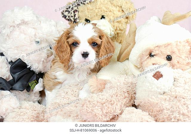 Cavalier King Charles Spaniel. Puppy (7 weeks old) amongst plush toys. Germany