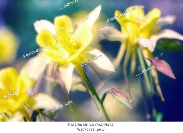 Yellow Columbine Flowers. Aquilegia formosa. May 2006. Maryland, USA