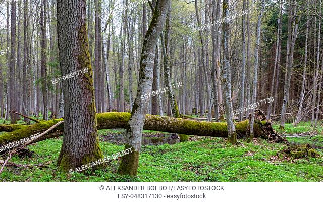 Fresh deciduous stand with old alder tree in foreground and broken one in background, Bialowieza Forest, Poland, Europe