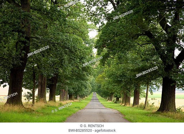 oak (Quercus spec.), oak alley near Billerbeck, Germany, Hesse, Beberbeck