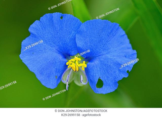 Dayflower (Commelina erecta), Rio Grande City, Texas, USA