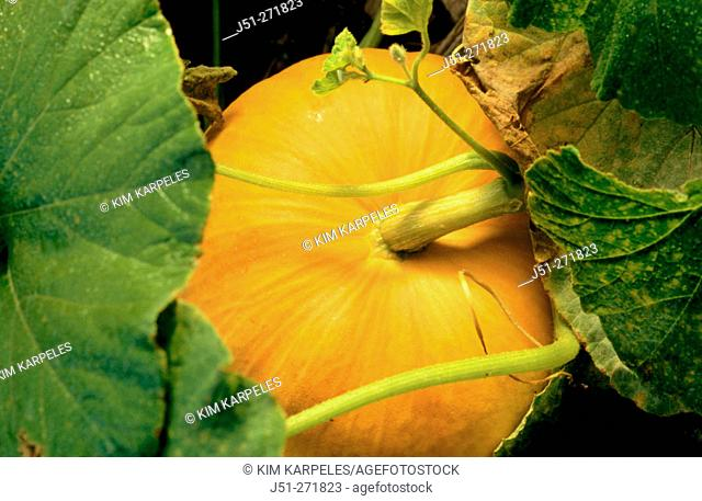 Mature orange pumpkin on vine. Illinois. USA