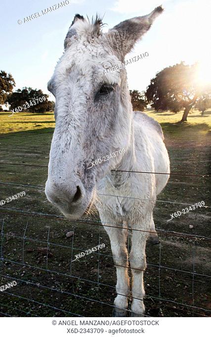 Donkey, La Vera region