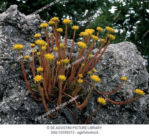 Jenny's Stonecrop (Sedum rupestre or Sedum reflexum), Crassulaceae