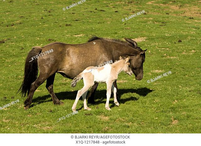 Four hour old foal with its mother, Iceland