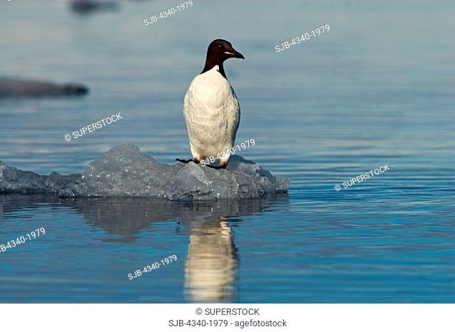 An adult Brunnich's guillemot Uria lomvia stands on a piece of floating sea ice along the coast of Svalbard, Norway, in summertime