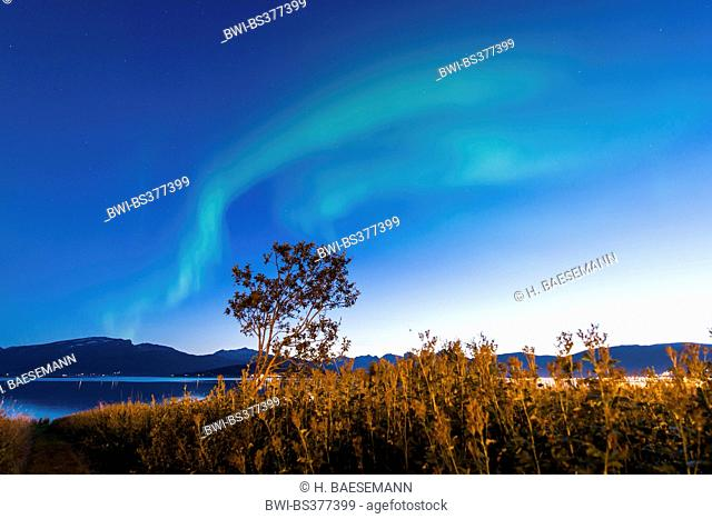 aurora bows over tree, Norway, Troms, Sandnessund, Tromsoe