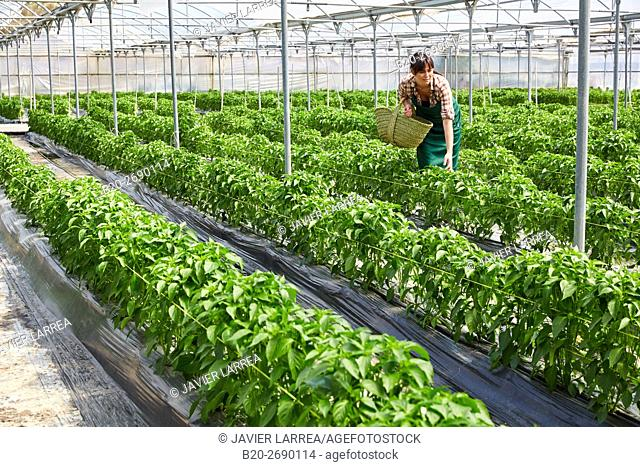 Farmer, Green chillies farming, Greenhouse, Agricultural field, Funes, Navarre, Spain