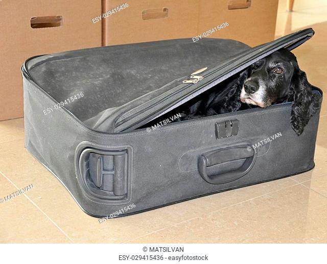 Cocker spaniel dog hiding in a suitcase