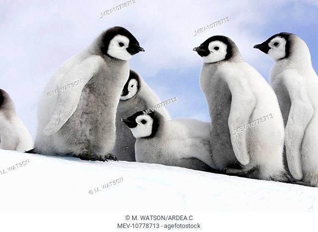Emperor Penguin - group of chicks (Aptenodytes forsteri)