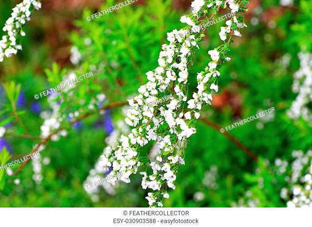 Thunberg's meadowsweet (Spiraea thunbergii) in Japan
