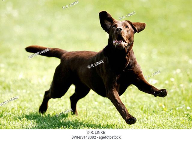 Labrador Retriever (Canis lupus f. familiaris), jumping across meadow
