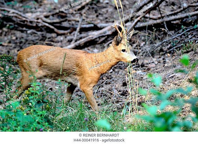 Goat, Capreolus capreolus, European roe deer, field roe deer, horns, antler bearer, nature, cloven-hoofed animal, roe deer, roe deer in the summer fur, roebuck