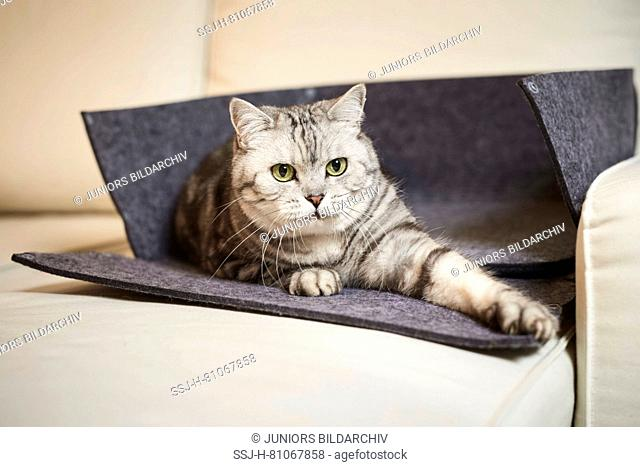 British Shorthair cat. Tabby adult lying in an opened pet bed made of felt. Germany