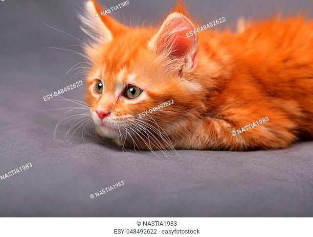 Red solid maine coon kitten lying with thinking look and beautiful brushes on the ears on grey background. Closeup portrait