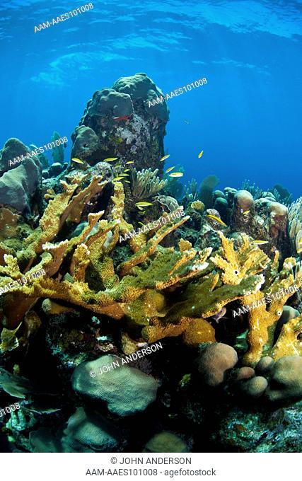 Underwater Coral Reef off the coast of Roatan, Honduras, Jackson Hole