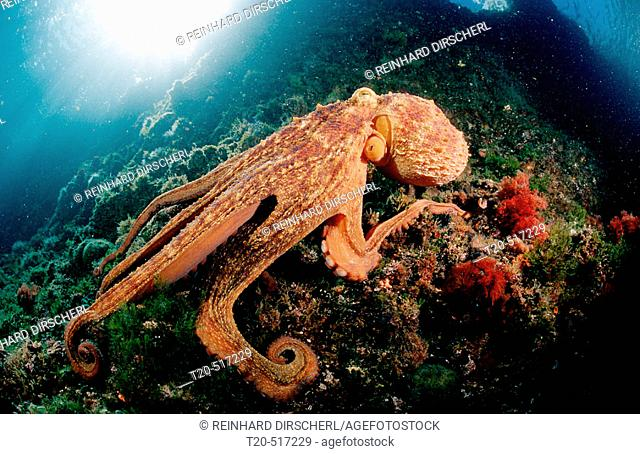 Octopus, Octopus vulgaris, Croatia, Istria, Mediterranean Sea