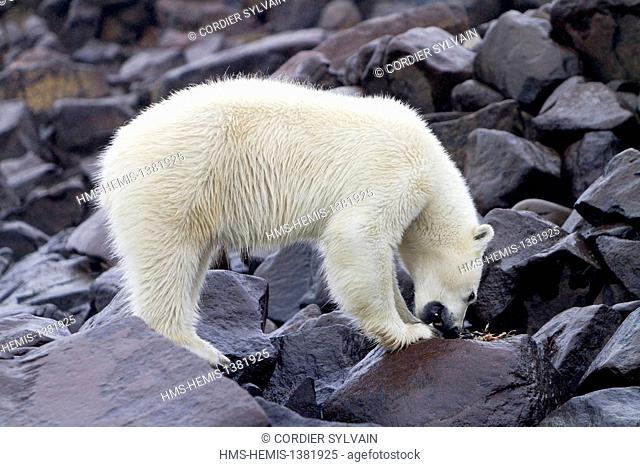 Norway, Svalbard, Spitsbergen, Polar Bear (Ursus maritimus) on the ground, eating pieces of a Brünnich's Guillemot (Uria lomvia)