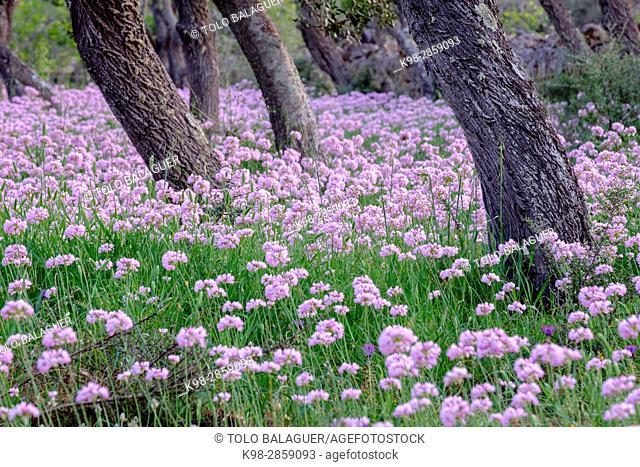 All de Bruixa en plena floracion, Allium roseum L. , Sencelles, Mallorca, balearic islands, spain, europe