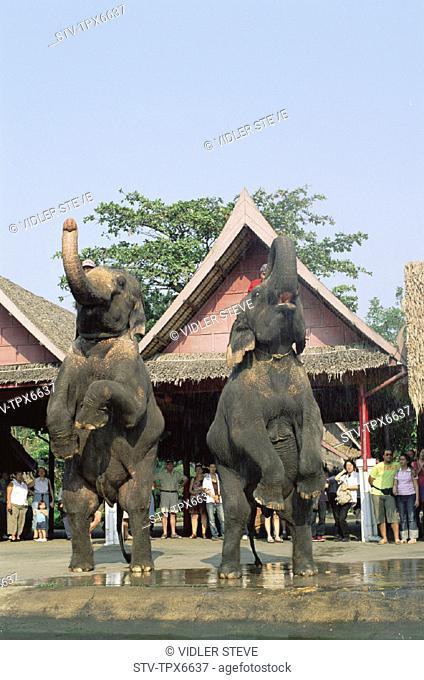 Animal, Animals, Asia, Bangkok, Elephant, Elephants, Holiday, Landmark, Rose garden, Show, Thailand, Tourism, Travel, Vacation