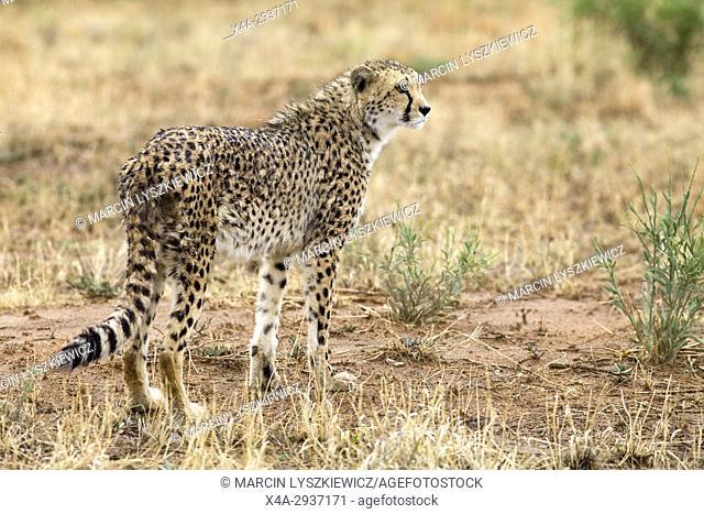 Wet cheetah (Acinonyx jubatus) standing in the grass, Africat Centre, Namibia