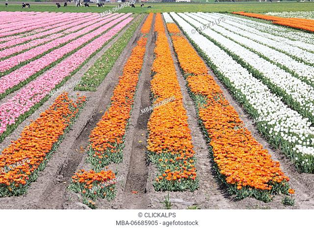 The colorful tulip fields in spring Berkmeer Koggenland North Holland Netherlands Europe