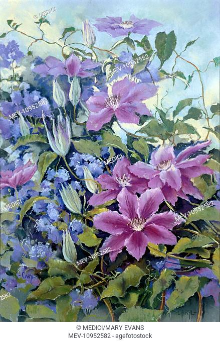 Lilac Clematis 'Nellie Moser' on Ceanothus