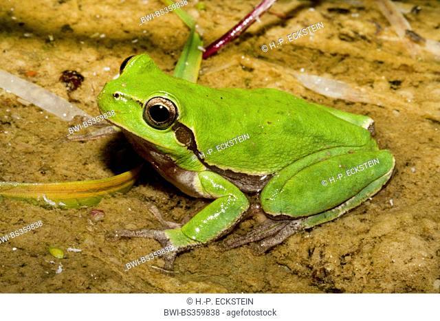 Sardinian tree frog, Tyrrhenian tree frog (Hyla sarda), male sitting in a brook, France, Corsica, Haute-Corse