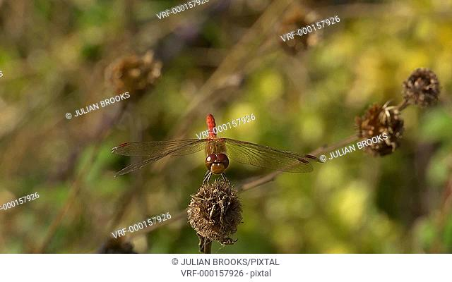 Red-veined Darter dragonfly at rest