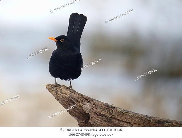 Blackbird, Turdus merula, Stockholm, Sweden