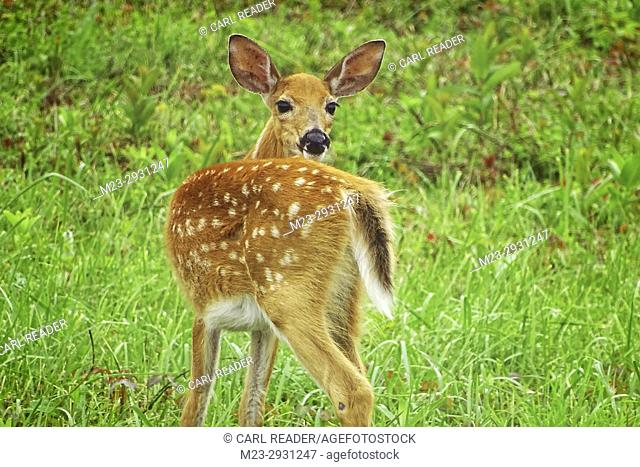 A fawn glances over its shoulder, Pennsylvania, USA