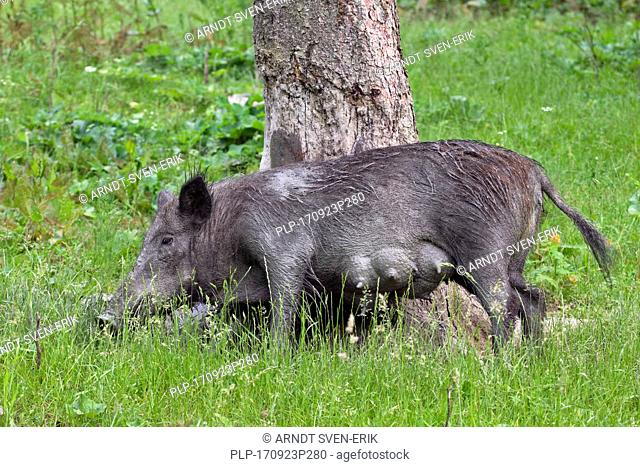 Wild boar (Sus scrofa) sow rubbing tree to remove dirt and parasites from its skin as well as just to scratch an itch