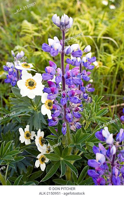 Lupine & Narcissus-Flowered Anemones In Alpine Meadow Mount Roberts Juneau Alaska Southeast Summer Coast Mtns