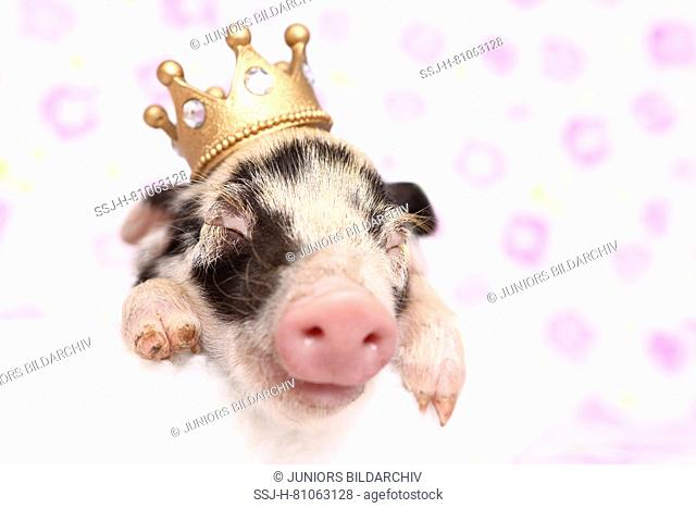 Domestic Pig, Turopolje x ?. Piglet sleeping on a white blanket, wearing a crown. Studio picture seen against a white background with flower print