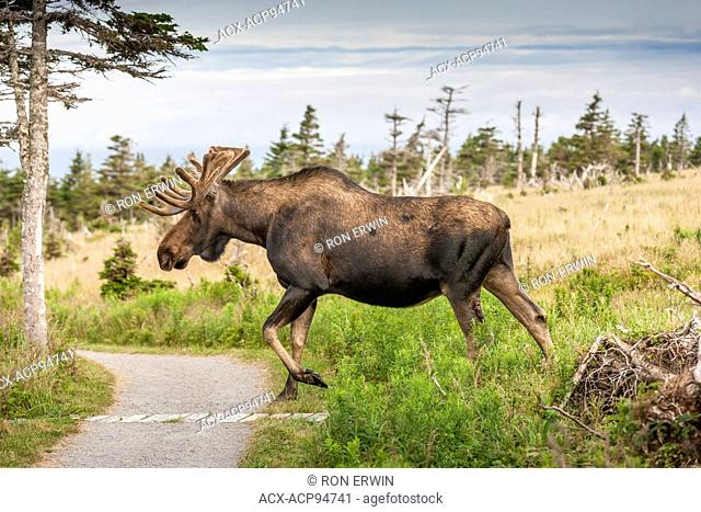Large bull Moose (Alces alces) with velvet antlers, Skyline Trail, Cape Breton Highlands National Park, Nova Scotia, Canada