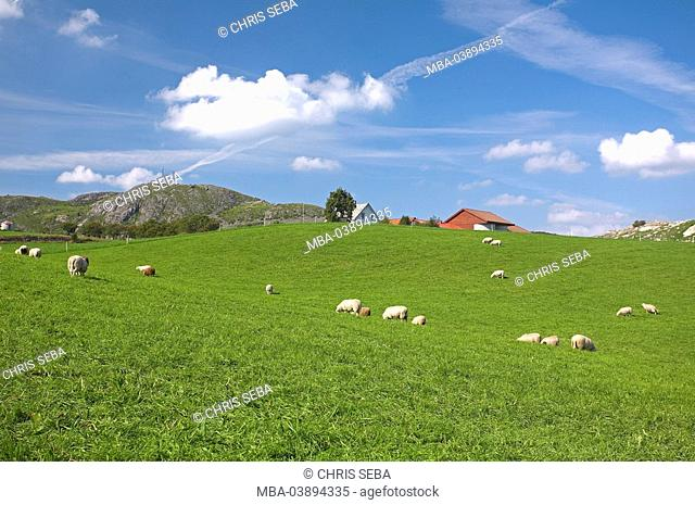 Norway, Lysefjord, hill-landscape, residences meadow sheep summer Scandinavia southwest-coast, landscape, houses, farmstead, farm, pasture, animals