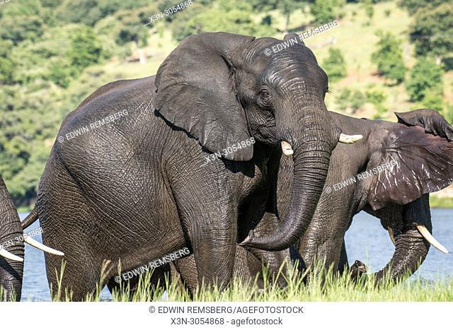 A group of elephants along the Chobe River. Chobe National Park - Botswana