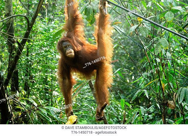 orangutan Pongo pygmaeus swinging in the jungle in Sarawak, Borneo, Malaysia