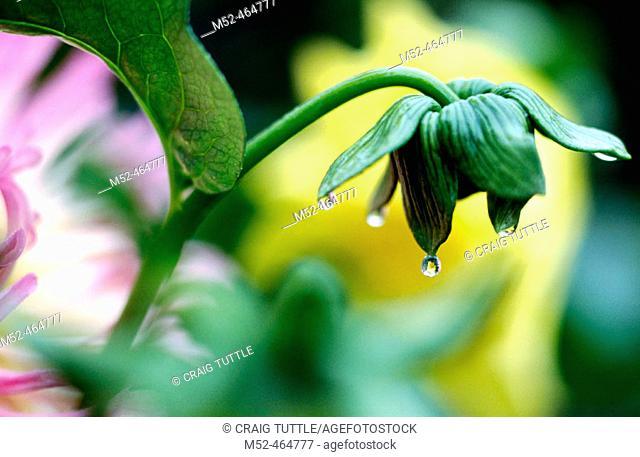 Close-up of Dahlias. Oregon, USA