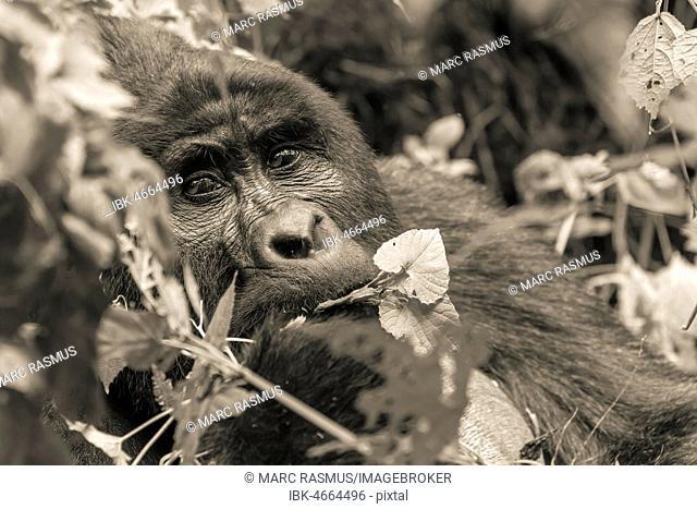 Mountain gorilla (Gorilla beringei beringei), silverback, animal portrait, feeding, monochrome, Bwindi Impenetrable National Park, Uganda