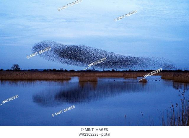 A murmuration of starlings, a spectacular aerobatic display of a large number of birds in flight at dusk over the countryside