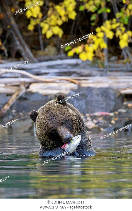Grizzly bear and sockeye salmon, BC, Canada