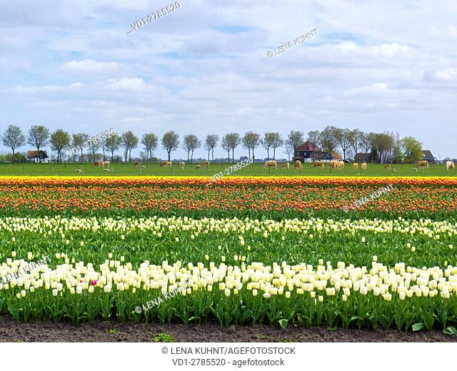 Netherlands, North Holland, Ursem. Tulip fields in bloom in early spring