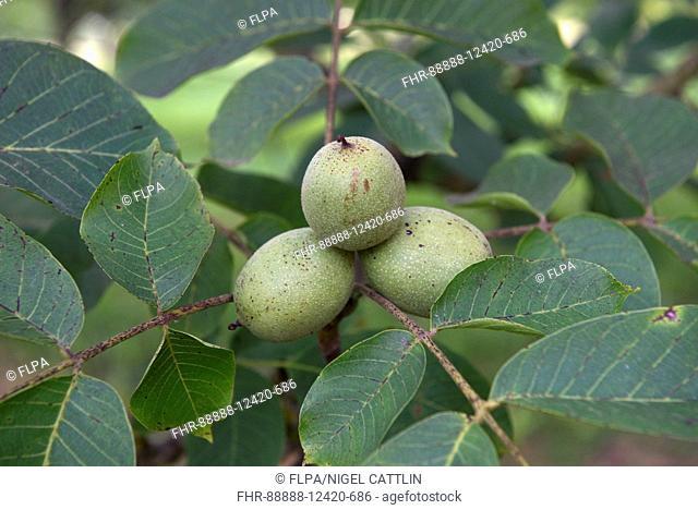 Walnuts in fruit on trees, Sainte-Foy-la-Grande, Gironde, France