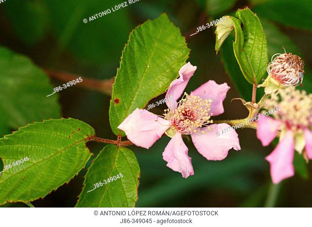 Blackberry (Rubus fruticosus) flower