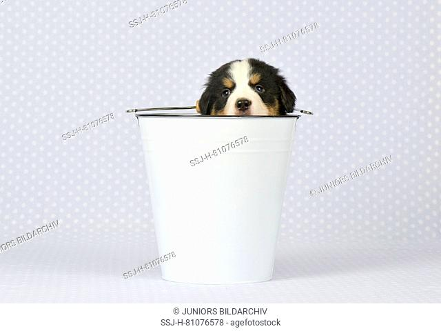 Bernese Mountain Dog. Puppy (5 weeks old) in a white bucket. Studio picture. Germany