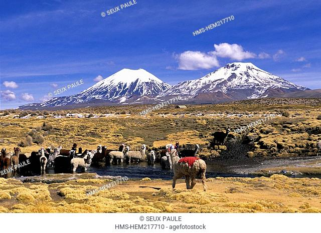 Bolivia, Oruro Department, Sajama Province, Sajama National Park, Nevados de Payachata complex of volcanoes, alpacas