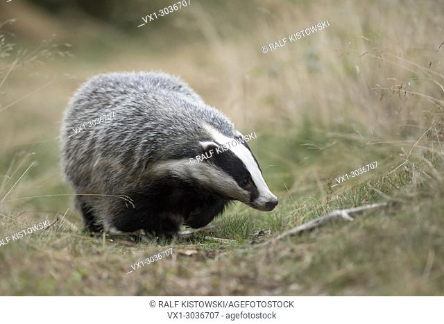 European Badger / Europaeischer Dachs ( Meles meles ), adult animal, walking along a typical badger's path, comes closer, frontal shot, Europe