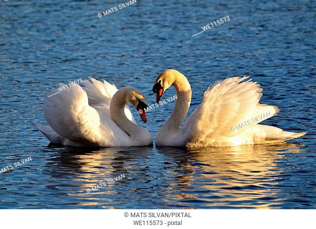 Swans making a heart with the wings raised
