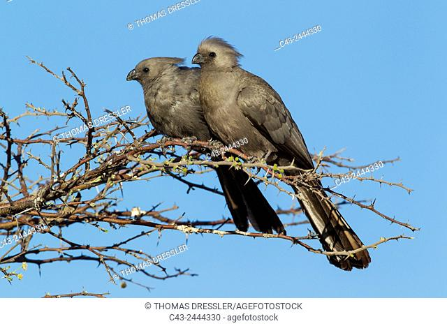 Grey Lourie or Grey Go-Away-Bird (Corythaixoides concolor) - Pair. Okavango Delta, Moremi Wildlife Reserve, Botswana